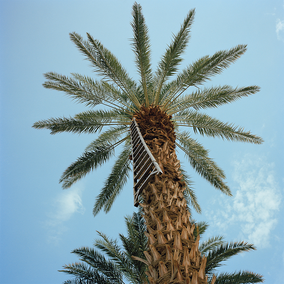 Date palm with harvest ladder. Thermal, Riverside County.